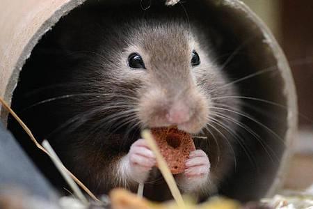 Hamster können in Ausnahmefällen bis zu 15 Kilogramm Futter zusammentragen. Foto: Caroline Seidel/dpa-tmn/dpa