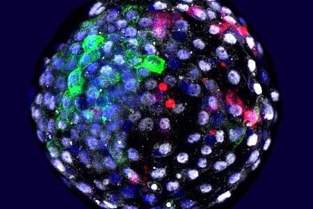 Das Bild zeigt eine Chimäre Mensch-Affe-Blastozyste. Wissenschaftler haben Embryonen aus Zellen von Mensch und Affe erzeugt. Foto: Weizhi Ji/Kunming University of Science and Technology/dpa