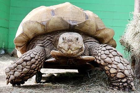 Das rund 100 Kilogramm schwere Schildkrötenmännchen Helmuth bewegt sich auf seinem Rollbrett durch das Gehege. Foto: Roland Weihrauch/dpa