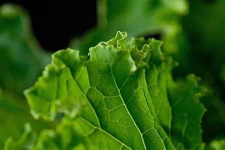 Die krausen Blätter sind sein Markenzeichen: Grünkohl schmeckt roh mariniert als Salat, gebraten in der Gemüsepfanne, im Ofen angeröstet als Chips oder als Salat-Topping. Foto: Klaus-Dietmar Gabbert/dpa-tmn