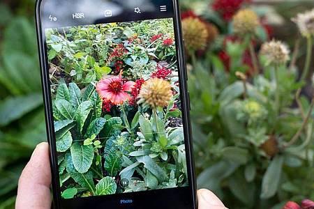 Erkennungs-Apps im Stile von Flora Incognita nutzen die Smartphone-Kamera, um Pflanzen mit einer Datenbank abzugleichen. Foto: Florian Schuh/dpa-tmn