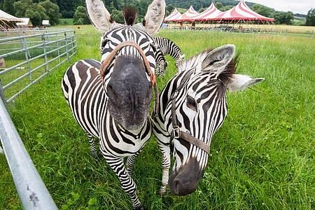 Zwei Zebras blicken neugierig in die Kamera. Foto: Julian Stratenschulte/dpa