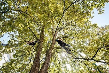 Wer als Baumpfleger tätig ist, muss hoch hinaus. Foto: Zacharie Scheurer/dpa-tmn