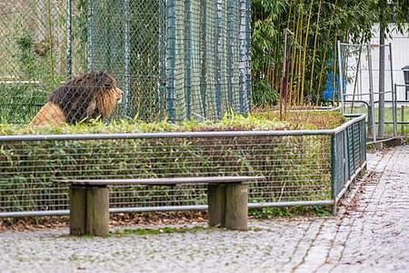 Ein Löwe blickt aus seinem Gehege auf einen menschenleeren Weg. Foto: Armin Weigel/dpa