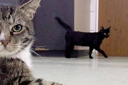 Bisher sind vor allem Fälle von Katzen bekannt, die sich mit Corona infiziert haben. Foto: Carsten Rehder/dpa