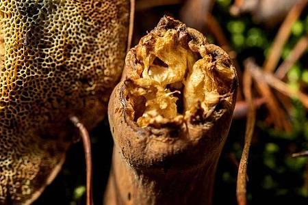 Wenn Maden einen Pilz schon regelrecht durchlöchert haben, lassen Sammler ihn lieber stehen. Wer sich hier unsicher ist, schneidet das Exemplar mit einem Messer auf, um ins Innere zu schauen. Foto: Zacharie Scheurer/dpa-tmn
