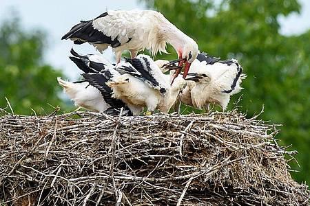 Weißstorch «Nobbi» kümmert sich in Loburg inSachsen-Anhalt um seinenNachwuchs. Foto: Klaus-Dietmar Gabbert/dpa-Zentralbild/dpa
