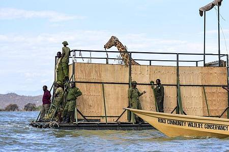 Eine vom Aussterben bedrohte Rothschildgiraffe wird auf einem Lastkahn transportiert, um sie von der Insel Longicharo zu einem Schutzgebiet auf dem Festland zu bringen. Foto: -/Northern Rangelands Trust/AP/dpa