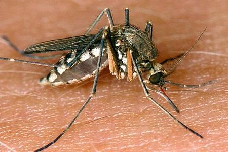 Eine Mücke saugt Blut aus der Haut. In Deutschland wurde in dieser Mückensaison der erste Wildvogel mit einer West-Nil-Infektion entdeckt. Foto: Andreas Lander/dpa-Zentralbild/dpa