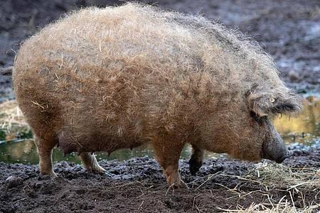 Ein Rotes Mangalitzaschwein:Dem ungewöhnlichen Haarkleid mit lockigen Borsten verdankt das Tier seinen Namen Wollschwein. Foto: Soeren Stache/dpa-Zentralbild/dpa