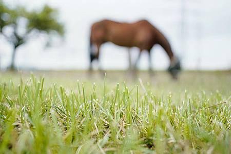 Ein Pferd steht auf der Weide eines Pferdehofes im Raum Heidelberg. Seit einigen Wochen beschäftigen Fälle von Tierquälerei, bei denen Pferde verletzt wurden, die Polizei im Rhein-Neckar-Kreis. Foto: Uwe Anspach/dpa