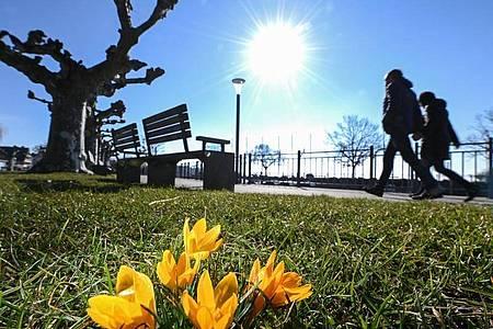 Der Frühling lockt: Krokusse an einer Uferpromenade am Bodensee. Foto: Felix Kästle/dpa