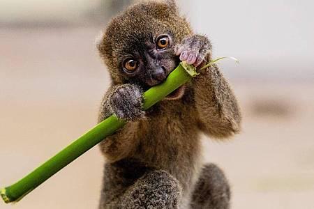 Das Bambuslemurenbaby Dakari (geboren am 5. Mai 2021) frisst ein Stück Bambus. Foto: Rolf Vennenbernd/dpa
