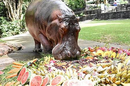 Nilpferddame Mae Mali macht sich im Khao Kheow Open Zoo anlässlich ihres 55. Geburtstags über eine Torte aus Früchten und Gemüse her. Foto: -/Khao Kheow Open Zoo/dpa