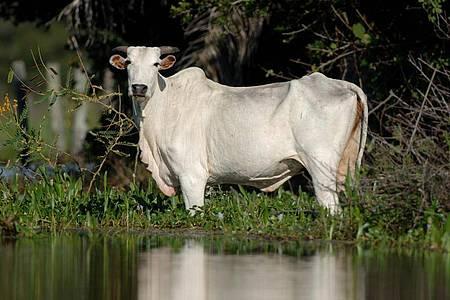 Ein Rind steht im Sumpfgebiet Pantanal im Bundesstaat Mato Grosso im Wasser (Archiv). Foto: Ralf Hirschberger/dpa-Zentralbild/dpa