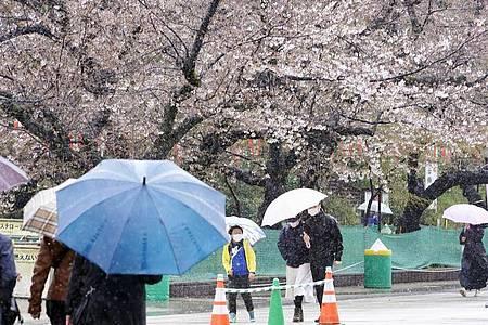 Menschen spazieren bei Regen an Kirschblüten im Ueno Park in Tokio vorbei. Foto: -/kyodo/dpa