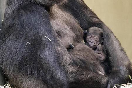 Das Mitte Februar geborene, noch namenlose Gorilla-Mädchen im Arm seiner Mutter Bibi. Foto: -/Zoo Berlin/dpa