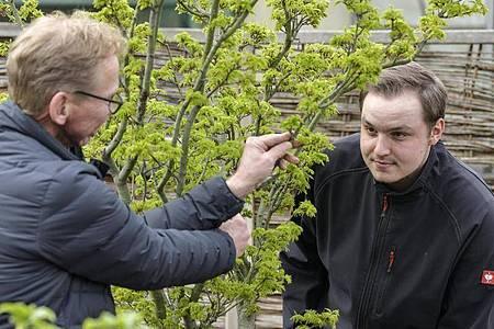 Viel Fachwissen zu Pflanzen ist gefragt: Manfred Freuken zeigt seinem Auszubildenden Nico Hemsteg den richtigen Beschnitt an einem Schlitzahorn. Foto: Kirsten Neumann/dpa-tmn