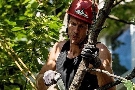 Welcher Ast geschnitten werden muss, wählen Baumpfleger sehr sorgfältig aus. Foto: Zacharie Scheurer/dpa-tmn
