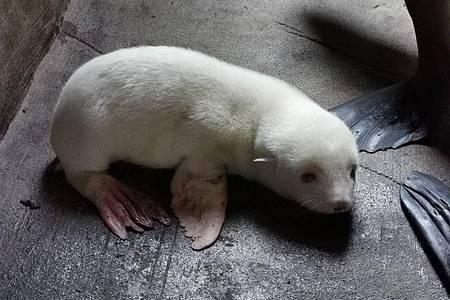 Dem noch namenlosen Seebärenbaby geht es gut. Foto: ---/Hagenbeck/dpa