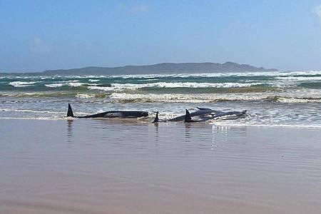 Die gestrandeten Grindwale auf einer Sandbank im Hafen von Macquarie in der Nähe von Strahan an der Westküste Tasmaniens. Foto: Tasmania Police/TASMANIA POLICE/AAP/dpa