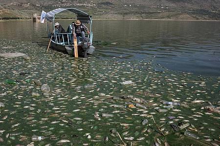 Freiwillige sammeln tote Karpfenfische aus dem Qaraoun-Stausee im Beqaa-Tal im Ostlibanon. Foto: Marwan Naamani/dpa