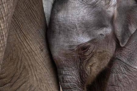 Das kürzlich geborene Elefantenkalb Jack ganz nah bei seiner Mutter Nina. Foto: Thierry Zoccolan/AFP/dpa