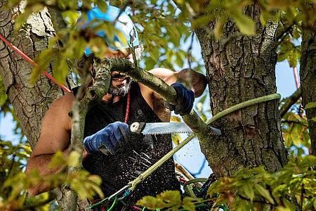 Mit Helm, Seil, Klettergerät und -gurt ausgestattet werken Baumpfleger in der Baumkrone. Foto: Zacharie Scheurer/dpa-tmn