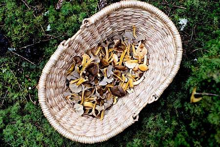 Pilzsammler sollten nur junge und einwandfreie Exemplare ins Körbchen packen. Foto: Zacharie Scheurer/dpa-tmn
