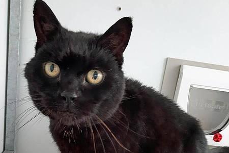 Kater Jess ist fast 14 Jahre nach seinem Verschwinden wieder mit seinem ursprünglichen Haltern vereint worden. Foto: Cats Protection/PA Media/dpa