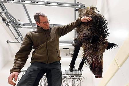 Thomas Hauck, Leiter des Forstamts Baden-Baden, begutachtet in der dortigen Wildkammer ein geschossenes Wildschwein. Die steigende Nachfrage nach Wildfleisch ist kaum zu befriedigen. Foto: Uli Deck/dpa