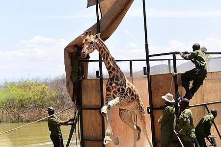 Die Giraffe «Susan» wird freigelassen, nachdem sie mit einer Barke von der Insel Longicharo im Baringo-See auf das Festland gebracht wurde. Foto: Eckhartmedia/Northern Rangelands Trust/dpa