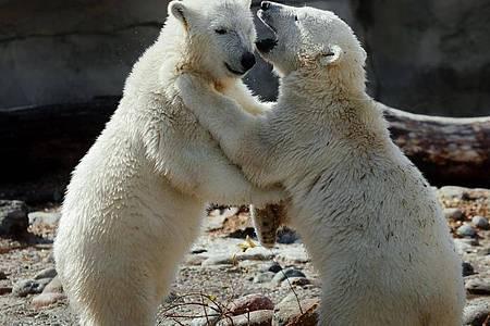 Eisbär-Zwillinge Anna und Elsa raufen miteinander. Foto: Bernd Ohlthaver/Zoo am Meer Bremerhaven/dpa
