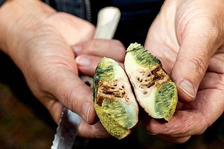 Stark von Maden befallene Pilze sollten Sammler nicht essen, sondern wegwerfen. Foto: Zacharie Scheurer/dpa-tmn