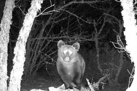 Nachtaufnahme des Braunbären in dem nordspanischen Naturpark. Foto: Zeitun Films/dpa