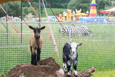 Ziegen im «Circus Land». Foto: Julian Stratenschulte/dpa