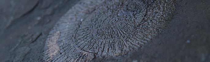 Ammonit auf Schiefernplatte