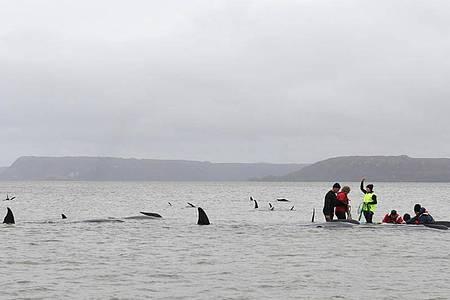 Grindwale sind sehr soziale Tiere, mehrere Hundert Wale können gemeinsam auf Wanderschaft sein. Dabei folgen die Gruppen - Schulen genannt - einzelnen Leittieren. Foto: Brodie Weeding/THE ADVOCATE/AP/dpa
