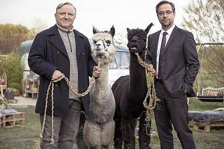 Kommissar Frank Thiel (Axel Prahl, l) und Prof. Karl-Friedrich Boerne (Jan Josef Liefers, r) mit zwei Alpakas. Foto: Martin Valentin Menke/WDR/dpa