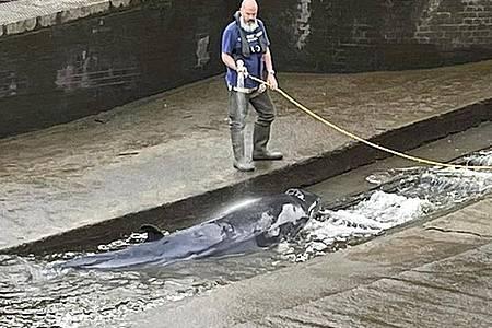Ein etwa vier Meter langer verletzter Minkwal wurde von Rettungskräften aus einer Themse-Schleuse befreit. Foto: Jake Manketo/PA Media/dpa