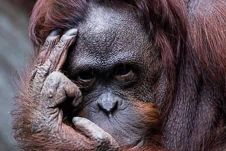 """""""Da laust mich doch der Affe!"""", mag sich mancher Verantwortliche des Zoos Münster gedacht haben - angesichts einer Rekordspende. Foto: Rolf Vennenbernd/dpa"""
