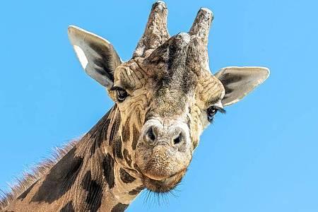 Der Giraffenbulle Kimbar blickt in die Kamera. Am 22. Juni wäre er stolze 28 Jahre alt geworden. Foto: Daniel Zupanc/TIERGARTEN SCHÖNBRUNN/APA/dpa