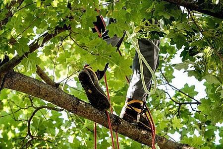 Der Job als Baumpfleger ist mit Risiken verbunden. Gute Zusammenarbeit im Team und Sicherheitsbewusstsein sind unerlässlich. Foto: Zacharie Scheurer/dpa-tmn