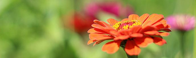 orange Gerberablüte