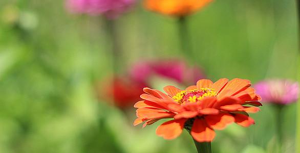 Orange Gerbera blüht