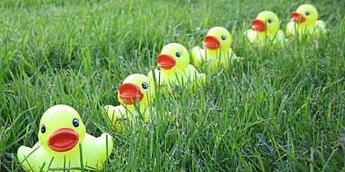 Sechs gelbe sitzen hintereinander auf einer grünen Wiese